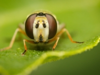 16-syrphe-eyes