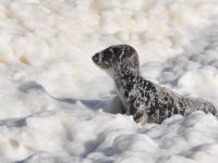Jeune phoque venu se reposer sur la plage, quelques instants, pendant la tempête