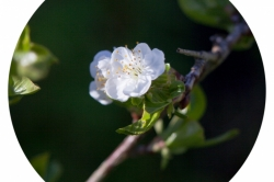Fleurs poirier