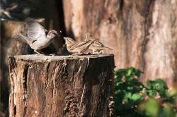 Daniel H. - Les oiseaux dans mon jardin
