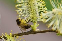 François C. - Pas de télétravail  pour l'abeille