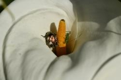 Jean-Louis LJ. - Insecte sur Arum - 2