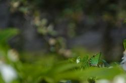 Jean-Michel L. - Argentré - 26 Avril 2020 - Argus vert au jardin