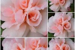 Julie C. - Roses