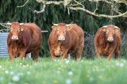Mélanie J. - Oh! les vaches