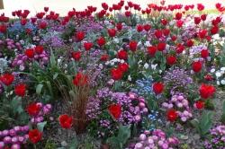 Soizic F. - Parterre de tulipes