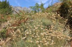 Immortelles dans la montagne Corse
