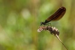 libellule d'été