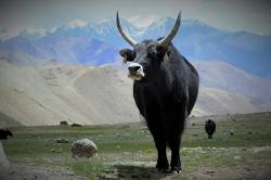 Au pays des yacks