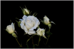 Roses-Blanches