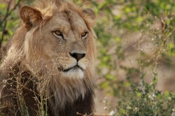 Sa-majeste-le-lion