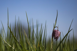 Fritillaires_avril_2021_06