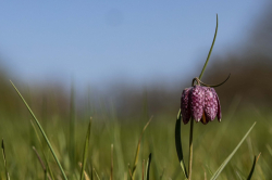 Fritillaires_avril_2021_08