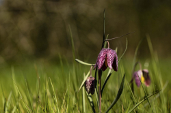 Fritillaires_avril_2021_09