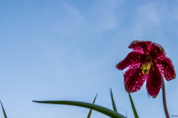 Fritillaires_avril_2021_16
