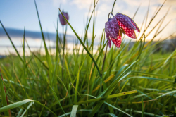 Fritillaires_avril_2021_19