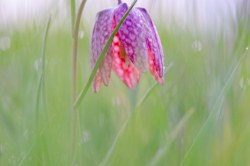 Fritillaires_avril_2021_21