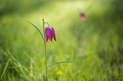 Fritillaires_avril_2021_42