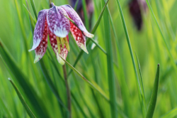 Fritillaires_avril_2021_45