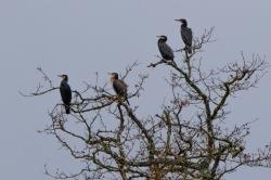 Cormorans 11