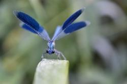 Brigitte Calopteryx
