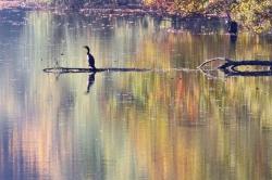 le grand cormoran - Patrice B