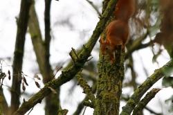 Ecureuil roux en recherche de nourriture