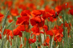 Paysage coquelicots