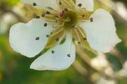 Fleur de poirier