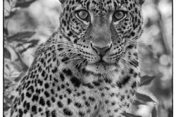 Léopard de Java