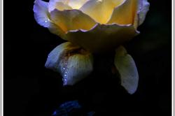 Juste une rose !