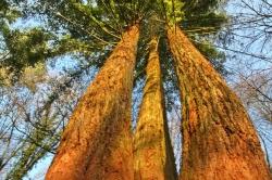3 séquoias