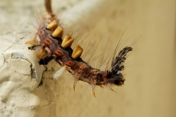 Chenille du Bombyx étoilé mâle