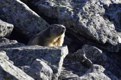 Marmotte-au-Sancy