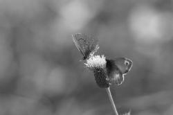 Fleur et papillons