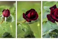 Naissance d'une rose